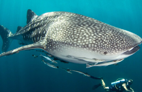 Scuba diving nest to whale shark in Phi Phi