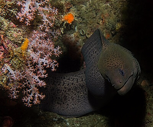 Find big morays while scuba diving