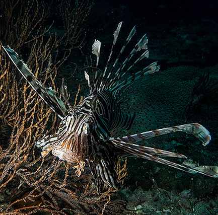 Big lionfish in King Cruiser wreck