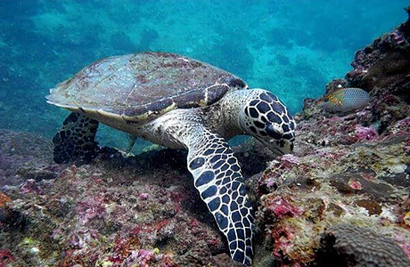 Turtle eating coral reef