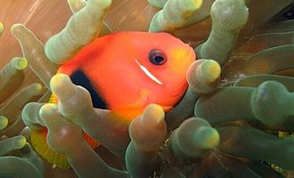 Värikäs kala ui pehmeän korallin seassa