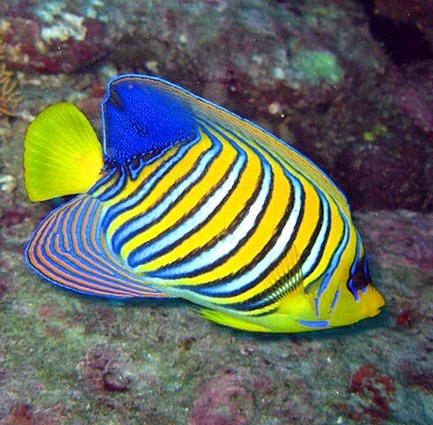 Värikäs kala Phi Phi saarilla