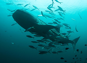 Whale shark is a common visitor at Hin Daeng and Muang