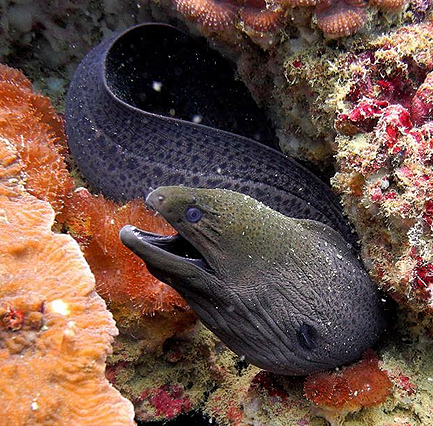 Big moray in Ray Yai island