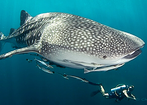Whale sharks are often spotted on a diving trip from Krabi