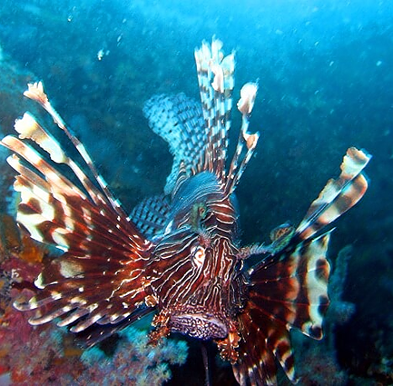Scuba diving with lionfish in Similan islands