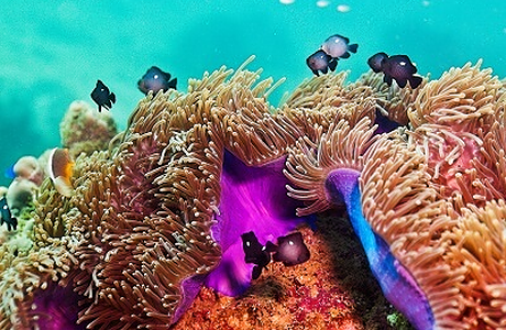 Purple color spotted on anemone reef
