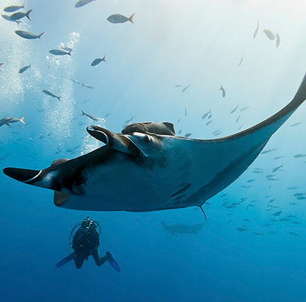 Giant manta ray hovering