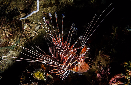 Lion fish swimming around rock