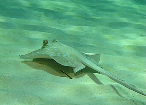 Ray gliding the sand floor near Koh Lanta