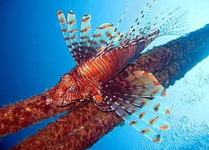 Lionfish guarding its territory