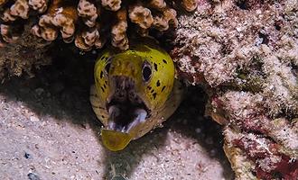 Mureenat ovat yleisiä sukelluskohteissa