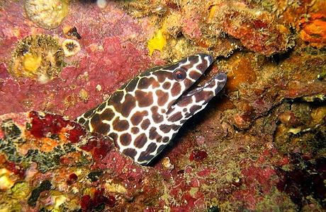 Värikäs mureena Similan 8 saaren sukelluskohteessa