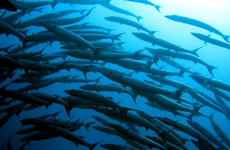 Barracudas swimming in circle at southern Thailand