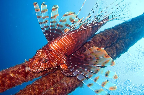 Lionfish in all its glory at Krabi