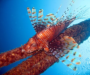 Find beautiful lionfish while diving in Krabi