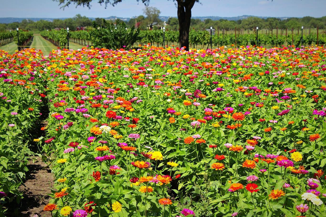 Bloom Update Wildseed Farms